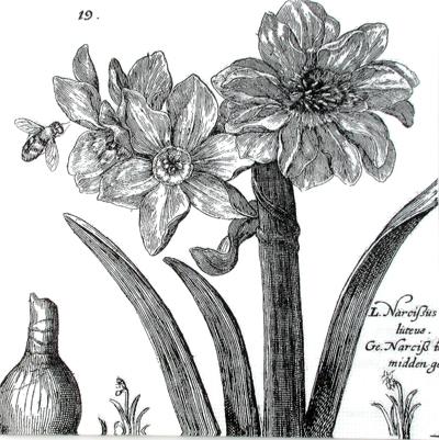 Salveta Narcissus charcoal, GCB3